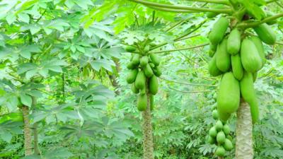 Зеленая папайа